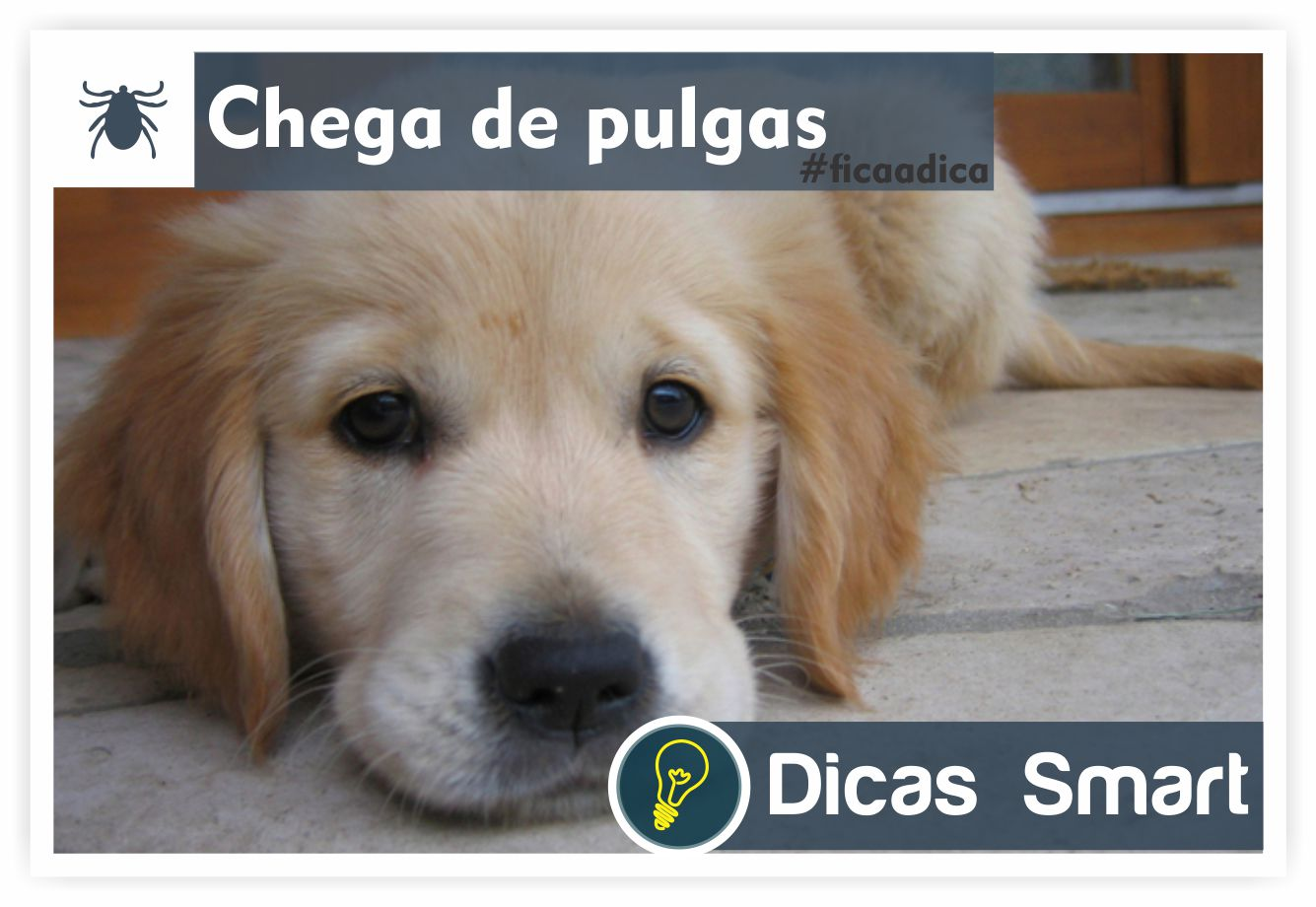 pulgas - cachorro